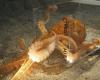 これぞ軟体生物の真骨頂!直径わずか1インチの穴を巧みに通り抜けるタコのスゴ技